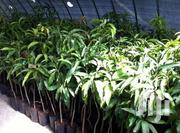 Quality Grafted MANGO Seedlings | Feeds, Supplements & Seeds for sale in Brong Ahafo, Wenchi Municipal