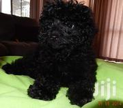 Male Poodle For Crossing | Dogs & Puppies for sale in Greater Accra, Ashaiman Municipal