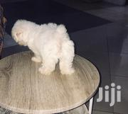 Maltese Dog Sale Sale | Dogs & Puppies for sale in Greater Accra, Tema Metropolitan