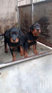 Pedigree Rottweilers Available | Dogs & Puppies for sale in Greater Accra, East Legon