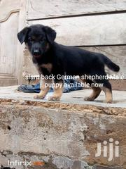 Slant Back German SHEPHERD | Dogs & Puppies for sale in Brong Ahafo, Sunyani Municipal