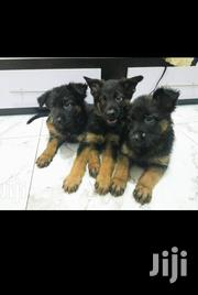 Solid German Shepherd Puppies | Dogs & Puppies for sale in Greater Accra, East Legon