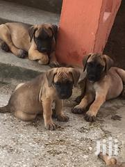 A Two Months Old Boerboel | Dogs & Puppies for sale in Greater Accra, Kwashieman