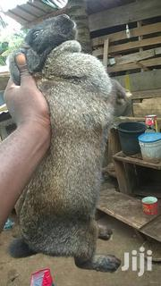Hendrix Genetics Rabbit | Livestock & Poultry for sale in Ashanti, Obuasi Municipal