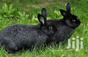 Adepa Rabbits | Livestock & Poultry for sale in Greater Accra, Adenta Municipal