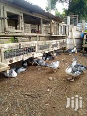 Healthy Matured Muscovy | Livestock & Poultry for sale in Central Region, Gomoa East