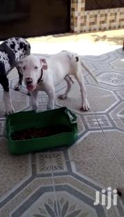 Great Dane Female Puppy | Dogs & Puppies for sale in Greater Accra, Burma Camp