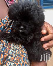 Mix Shih Tzu and Maltese Puppies | Dogs & Puppies for sale in Greater Accra, Adenta Municipal