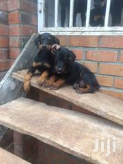 Doberman Puppies | Dogs & Puppies for sale in Greater Accra, Kwashieman