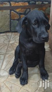 Cane Corso Breed | Dogs & Puppies for sale in Greater Accra, Adenta Municipal