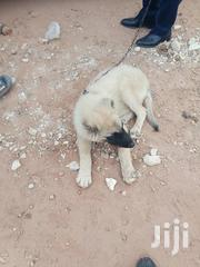 4 Month Old Male Caucasian Shepherd Puppy Available Now | Dogs & Puppies for sale in Greater Accra, Adenta Municipal