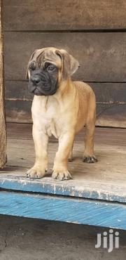 Boerbull Puppys | Dogs & Puppies for sale in Greater Accra, Adenta Municipal