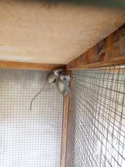 African Green Monkey | Other Animals for sale in Greater Accra, Dansoman
