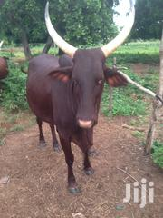 Caw Sale F | Livestock & Poultry for sale in Northern Region, Yendi
