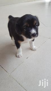 Rottweiler X Basenji | Dogs & Puppies for sale in Greater Accra, Akweteyman