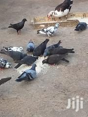 Pigeons Both Males And Females | Birds for sale in Greater Accra, Bubuashie