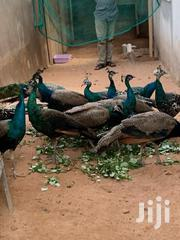 Peacock For Sale | Birds for sale in Greater Accra, East Legon (Okponglo)
