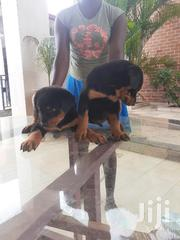 Solid Rottweiler Puppys Available | Dogs & Puppies for sale in Greater Accra, Adenta Municipal