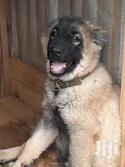 Caucasian Shepherd | Dogs & Puppies for sale in Greater Accra, Adenta Municipal