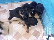 Dobberman Puppies | Dogs & Puppies for sale in Greater Accra, Dansoman