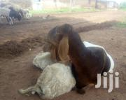 Sheeps For Sale | Other Animals for sale in Northern Region, Tolon/Kumbungu