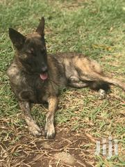 German Shepherd for Crossing | Dogs & Puppies for sale in Greater Accra, Achimota