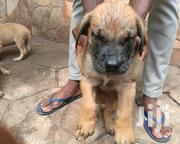 Boerboels Dogs | Dogs & Puppies for sale in Greater Accra, Adenta Municipal