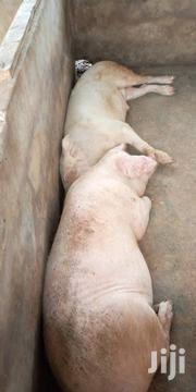 Pigs For Sale | Livestock & Poultry for sale in Greater Accra, Nungua East