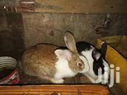 3 To 4 Months Rabbits Available | Livestock & Poultry for sale in Ashanti, Obuasi Municipal
