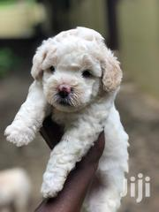 White Poodles Pups For Sale | Dogs & Puppies for sale in Greater Accra, Ga West Municipal