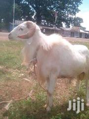 Goats Sale | Other Animals for sale in Northern Region, Yendi