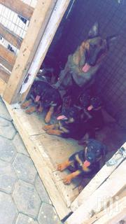 Purebred German Shepherd Puppy, | Dogs & Puppies for sale in Greater Accra, Roman Ridge
