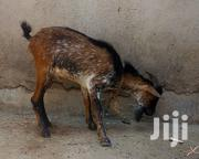 Healthy Goats | Livestock & Poultry for sale in Greater Accra, Abelemkpe