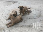 Pedigree Both Sex Boerboel Puppies | Dogs & Puppies for sale in Greater Accra, Airport Residential Area