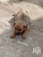 Boerboel Ready For A New Home   Dogs & Puppies for sale in Greater Accra, Achimota