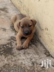 Boerboel 4 Sale   Dogs & Puppies for sale in Greater Accra, Achimota
