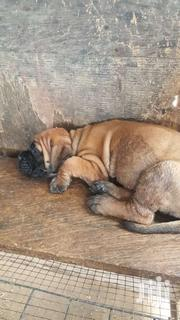 Bull Mastiff | Dogs & Puppies for sale in Greater Accra, Agbogbloshie