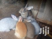 Young and Older Rabbits | Other Animals for sale in Greater Accra, Ga West Municipal