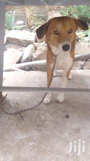 Local Dog Very Neat and Clean | Dogs & Puppies for sale in Greater Accra, Odorkor