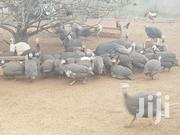 Fertile Eggs And Keets | Livestock & Poultry for sale in Greater Accra, Odorkor