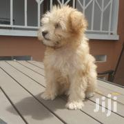 Young Female Purebred Poodle | Dogs & Puppies for sale in Ashanti, Kumasi Metropolitan