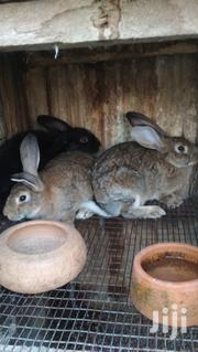 Rabbits Sales | Other Animals for sale in Greater Accra, Dansoman