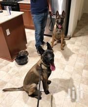 Belgian Shepherd Malinois Puppies | Dogs & Puppies for sale in Greater Accra, Adenta Municipal