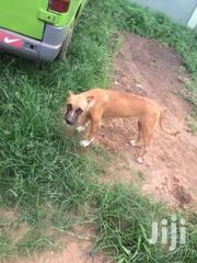 Pit Bull for Sale | Dogs & Puppies for sale in Greater Accra, Adenta Municipal