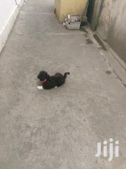 Poodles Puppies for Sale | Dogs & Puppies for sale in Greater Accra, Dzorwulu