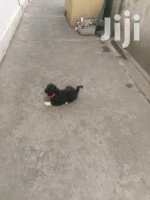 Poodles Puppies for Sale