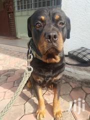 Rottweiler For Crossing   Dogs & Puppies for sale in Greater Accra, Tema Metropolitan