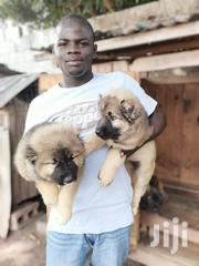 Caucasian Shepherd Puppys Available | Dogs & Puppies for sale in Greater Accra, Adenta Municipal
