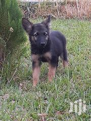 German Shepherd Puppys Available Now | Dogs & Puppies for sale in Greater Accra, Adenta Municipal