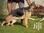 Imported Female GSD For Sale | Dogs & Puppies for sale in Greater Accra, Teshie-Nungua Estates
